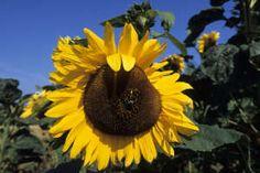 Bees in a sunflower, Keldby, Denmark