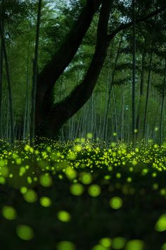 Firefly Dance | by m.hamajima