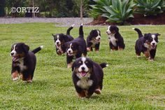bernese mountain dog puppies by laura ortiz., via Flickr