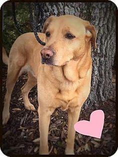 Groton, MA - Labrador Retriever/Chow Chow Mix. Meet Jodi, a dog for adoption.…