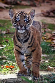 Check Out Bander's Baby Blues! Tiger Cubs Eyes R Blue At Birth Though Some ( like Damai's Stay Light )