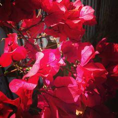 Bougainvillea bracts #flowers #plants #bougainvillea #nature #outdoors #garden #gardenersnotebook