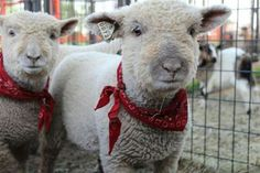 Southdown babydoll sheep / Lambing live