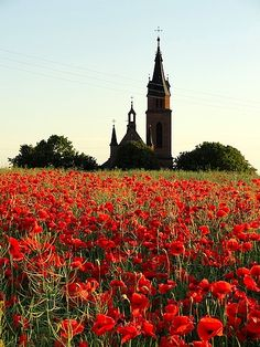 Field of Polish poppies - I have seen acres of poppies in the meadows and hills of Eastern Europe; breathtaking