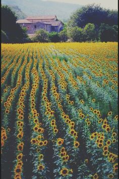Sunflower field, absolutly gorgeous