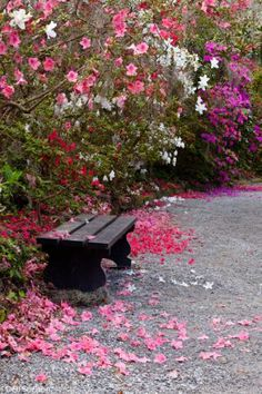 azalea blossom path, Magnolia Gardens, Charleston South Carolina | Deb Snelson Photography
