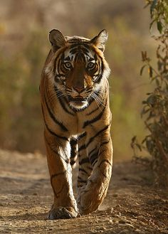Bengal Tiger from the front. | Flickr - Photo Sharing!