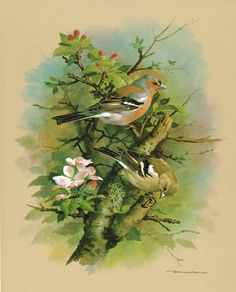 The Chaffinch - Vintage 1965 Bird Print by Basil Ede