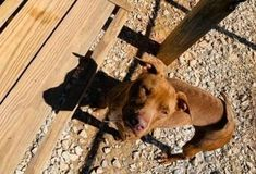 Honey Terrier (unknown Type Small) For Adoption In Greenville South Carolina