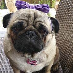 Social Pug Profile | Miss Drew http://www.thepugdiary.com/social-pug-profile-miss-drew/