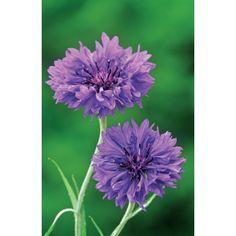 I have just purchased Centaurea cyanus 'Blue Boy' from Sarah Raven - http://www.sarahraven.com/flowers/seeds/annuals/centaurea_cyanus_blue_boy.htm