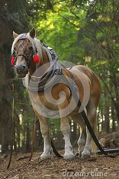 Dobbin with horse harness in forest