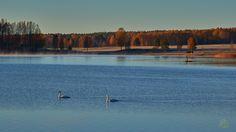 Morgonidyll... - http://www.wildlifephotographer.se/blog/2015/10/morgonidyll/ #Hösten, #Knölsvan, #Orsasjön, #Våmhusviken #-_HD_Singles, #Autumn, #Birds, #Seas_and_Lakes Bildbutiken Nära - Rätt butik! Rätt bild! Rätt pris! Wildlifephotographer.se | Leif Bength