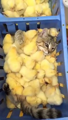 Pets Care - Baby chicks and kitten The way cats and dogs eat is related to their animal behavior and their different domestication process. Cute Little Animals, Cute Funny Animals, Cute Cats, Funny Cats, I Love Cats, Crazy Cats, Chat Bizarre, Kittens Cutest, Cats And Kittens