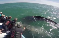 Amazing Footage Of Gray Whales (Mexico) http://viralselect.com/gray-whale-mexico/  #Fish #GrayWhale #Marine #MarineLife #Mexico #Ocean #Sea #Sealife #ViralVideo #Whale #Whales