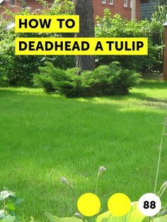 Learn How to Deadhead a Tulip Growing Tulips, Planting Tulips, Deadheading, Ornamental Plants, Tulips Flowers, Grateful Dead, Flower Beds, Home And Garden, How To Remove