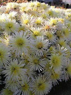 Mum-Joanette --  Bluestone Perennials