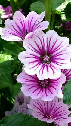 Mallow, French Hollyhock (Malva sylvestris) 'Zebrina' I hope mine from seed look like this when they bloom!