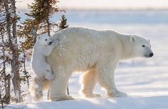 """funkysafari: """"This female polar bear was resting with its two young cubs in Wapusk National Park, Manitoba, Canada, when it suddenly got up and rushed downhill through the deep snow. One of the cubs jumped on to her, holding onto her furry backside. Polar Bears Live, Baby Polar Bears, Cute Polar Bear, Animals And Pets, Baby Animals, Cute Animals, Wild Animals, Urso Bear, Bear Photos"""