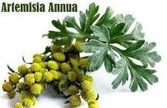 """""""cura anti virus"""" Artemisia Annua y Ortiga, un coctel molotov... si da algo, será tan leve que ni lo notaremos. Se pone: ☑️ 1 cucharadita de las 2 hierbas secas por cada litro de agua en un cazo con agua acabada de hervir, dejar reposar por 2 minutos, colar y ya tenéis la infusión. ☑️Se puede tomar caliente o a temperatura ambiente , así tal cual  o con un poco de limón o con un poco de miel. ☑️😝🥰Para prevenir, la dosis es 1 taza diaria de esta infusión por 1 semana. Para curar, son 3 - 4…"""