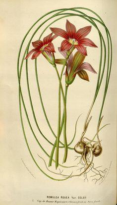 Flore des serres et des jardins de l'Europe. A Gand :chez #LouisvanHoutte, eÌditeur,1845-1880