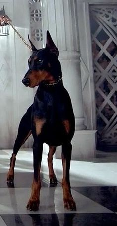 I think our next dog might be a Doberman, they're like a big version of our dog, he's a sassy and classy miniature pincher.  I love the look an attitude of both of these breeds, they'd look really cool walking side by side on leashes.