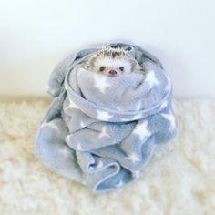 """11.2k Likes, 53 Comments - あずき/azuki (@hedgehog_azuki) on Instagram: """"Wrapping Azuki 最近やっとケージと部屋の温度が近くなって来て楽になりましたね〜もちろんお腹冷えない様にパネルヒーターや暖突は稼働さてます。 . . . #はりねずみ…"""""""