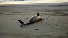 La Fundación Mundo Marino encontró 23 delfines franciscanos varados y sin vida en las playas de San Clemente, Mar de Ajó, Santa Teresita, Las Toninas, Aguas Verdes y La Lucila.