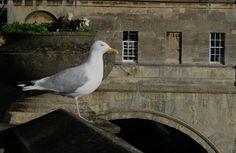 just an gull, years ago in Bath ;)