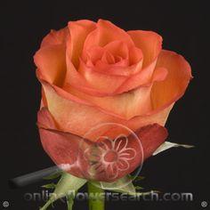 Rose High & Orange Magic - Cut Flower Wholesale, Inc. -- leading wholesale florist in Atlanta, GA U.S.A.