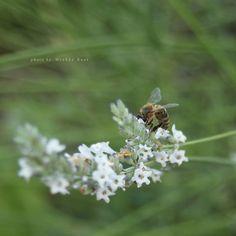 Bee on White Lavender, July 2016 by wiebkerost.deviantart.com on @DeviantArt