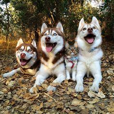 3 Huskies Tornaram-Se Os Melhores Amigos De Um Gato