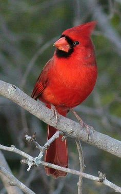Male Cardinal  | nature | | wild life | #nature #wildlife  https://biopop.com/