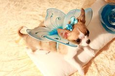 Chihuahua Charlotte with fairy wings!