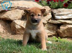Moe | Shiba Inu Puppy For Sale | Keystone Puppies Thing 1, Shiba Inu, Puppies For Sale, Animals, Animales, Animaux, Animal, Animais, Dieren