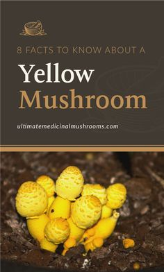 Finding yellow mushrooms in your house plants? Before you rip them off, here are 8 facts about yellow mushrooms that might just change your mind about them. Read on to find out how these unexpected mushrooms can actually help you and your plants.   Discover more about medicinal mushrooms at ultimatemedicinalmushrooms.com Yellow Mushroom, Mushroom Spores, 8 Facts, Mushroom Hunting, Growing Mushrooms, Organic Matter, Animals For Kids, House Plants, How To Find Out