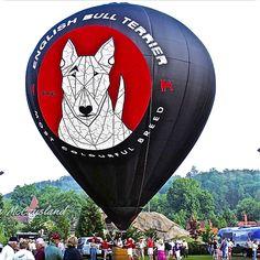 Bull Terrier Funny, British Bull Terrier, English Bull Terriers, Balloon Rides, Hot Air Balloon, Miniature Bull Terrier, Bully Dog, Best Dog Breeds, Dogs Of The World