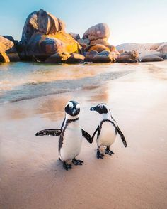 Meet PENGUINS in SOUTH AFRICA! These African penguins are only found on the coastlines of Southern Africa. These penguins are currently on the verge of extinction and are under the protection of the Cape Nature Conservation. Photo by Emmett Sparling ( Animals And Pets, Baby Animals, Cute Animals, Beautiful Creatures, Animals Beautiful, African Penguin, Fauna Marina, Boulder Beach, Cute Penguins