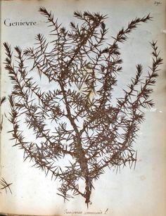 fleurs herbier - fleurs herbier - genievre - Gravures, illustrations, dessins, images