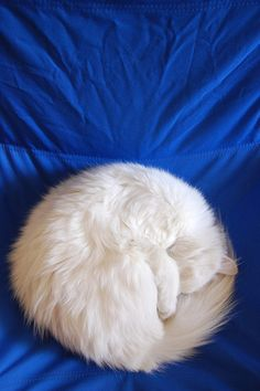 White cat curled on blue background. Pretty Cats, Beautiful Cats, Animals Beautiful, Cute Animals, I Love Cats, Crazy Cats, Cool Cats, British Short Hair, Dog Cat