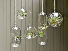 Air Plants Hanging in Clear Glass Ornaments