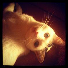 so sweet <3 #cat #cats #sweet #white #kitty #kitties #kitten #animal #adorable #picoftheday