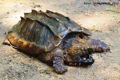Macrochelys temminckii   Flickr - Photo Sharing! // De alligatorschildpad is een grote schildpaddensoort uit de familie bijtschildpadden. Andere veelgebruikte benamingen zijn alligatorchelydra en gierschildpad