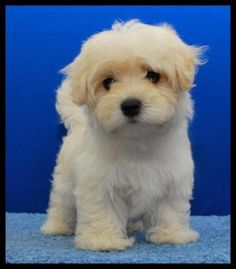 Maltese/ Poodle Mix. Also called Maltipoo