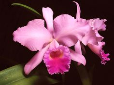 Orchid is our national flower