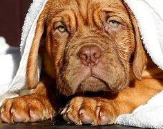 #French #Mastiff Bath day <3