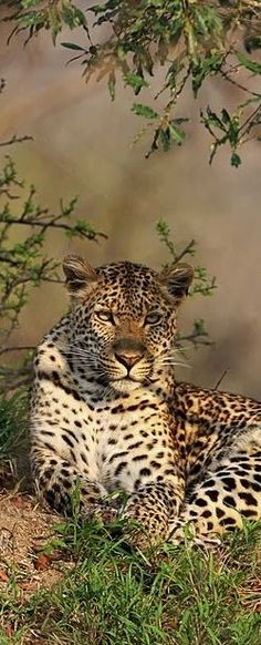 nice The Léopard ~ one of the five big cats. Native to Africa, the Middle East, Sout...