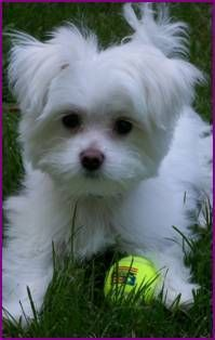 This is my little Boo! Sweetest dog ever, Maltese and yorkie mix!