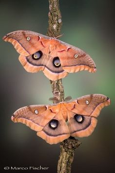 Insects - Saturniidae Moths - title Beauty - Macro photography - by Marco Fischer Flying Insects, Bugs And Insects, Butterfly Kisses, Butterfly Art, Beautiful Bugs, Beautiful Butterflies, Beautiful Creatures, Animals Beautiful, Moth Caterpillar