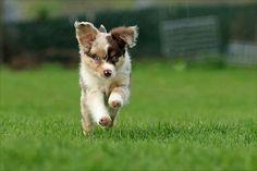 Toy Australian Shepherd Puppy Running